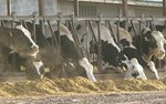 Antibiotic Use Is OK In Livestock Production, Says NY Court