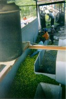 Haitian Lime Oil