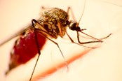 Researchers Pinpoint Mechanism In Malaria Drug Resistance