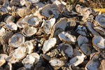 New Jersey Turns To Oysters For Pollution Help