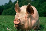 Implementation Of Canada Pig Traceability System — Education To Enforcement