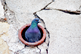 Pigeon-iStock-518002268