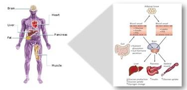 metabolics disease of man organ diagram