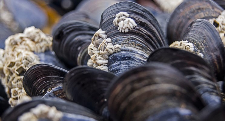 D.C. Adds Mussel To Federal Ruling On E. coli Limits