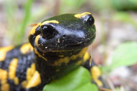 Could Salamander Skin Help Regrow Human Limbs