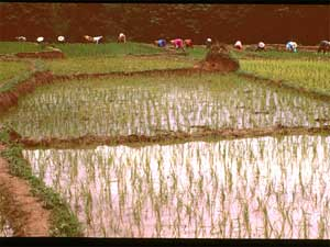 Rice Paddies in China: This image shows Chinese farmers transplanting rice in paddy fields in Yunnan Province, China, July 1999. Fossil fuels, cattle, landfills and rice paddies are the main human-related sources. Previous studies have shown that new rice harvesting techniques can significantly reduce methane emissions and increase yields. Credit: Changsheng Li