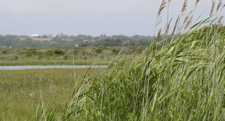 As Climate Change Erodes U.S. Coastlines, An Invasive Plant Could Become An Ally