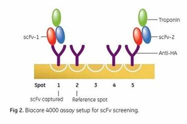 Resolving Bottlenecks of Recombinant Antibody Fragments